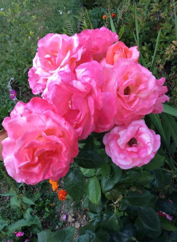 Roses à l'Institut Padma